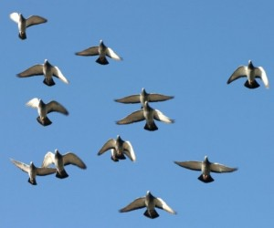 Klad duiven