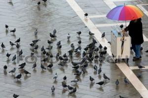 Duiven in regen
