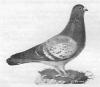 Typisch Luikse duif